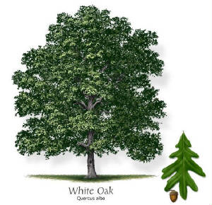 White-Oak-Texas.jpg