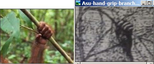 Asu-Adam-hand-grip-branch-Orangutan-South-Pacific.jpg